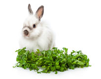 A funny rabbit is sitting near greens Stock Photography