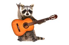 Funny raccoon with  acoustic guitar, showing a rock gesture. Isolated on white background stock photos