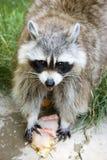 Funny raccoon Stock Image