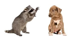 Funny raccoon and a cute pit bull puppy. Isolated on white background royalty free stock photography
