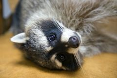Funny raccoon. Looks at the frame Royalty Free Stock Photography