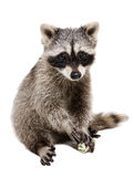 Funny raccoon playing rawhide bone Stock Images