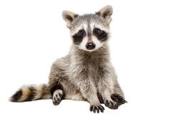 Funny raccoon. Sitting isolated on white background stock photo