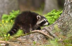 Funny raccoon Stock Photos