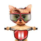 Funny racer dog with bike and aviator googles Stock Images