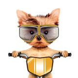 Funny racer dog with bike and aviator googles Royalty Free Stock Images
