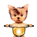 Funny racer dog with bike. Sport concept. Funny racer dog sitting on a yellow bike. Sport and championship concept. Realistic 3D illustration of yorkshire Stock Image