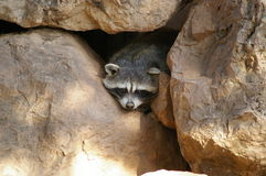 Funny racoon. A  racoon hidden is looking at us suspiciously Stock Images