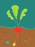 Funny radish. Illustration of funny radish plant Stock Photo