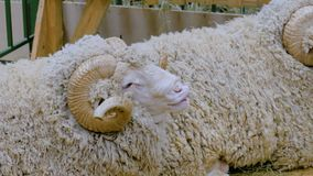 Funny ram with horns. Portrait of cute funny fluffy ram with horns at agricultural animal exhibition. Farming, agriculture industry and animal husbandry concept stock footage