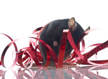 Funny rat Stock Photography