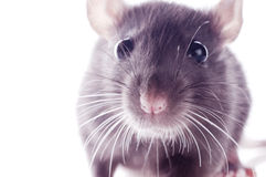 Funny rat Royalty Free Stock Image