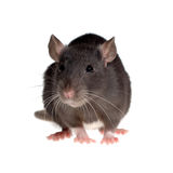 Funny rat Royalty Free Stock Photography