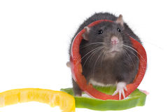 Funny rat Stock Photos