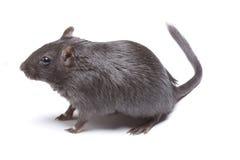Funny Rat Royalty Free Stock Photos