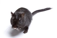 Funny rat Royalty Free Stock Images