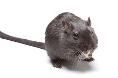 Funny rat Stock Image