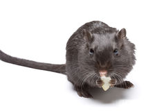 Funny Rat Stock Images