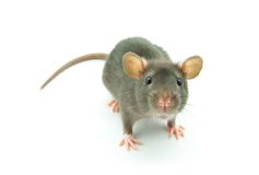 Funny rat Royalty Free Stock Photo
