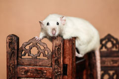 Funny rat balancing on wooden folding screen Stock Photography