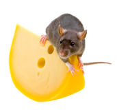 Funny rat and cheese isolated on white Royalty Free Stock Photos