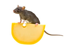 Funny rat and cheese isolated on white Stock Photo