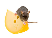 Funny rat and cheese isolated on white Royalty Free Stock Images