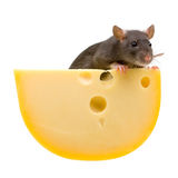 Funny rat and cheese isolated on white Stock Photography