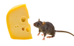 Funny rat and cheese isolated on white Stock Images