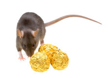 Funny rat and chocolate candies isolated on white Royalty Free Stock Photography