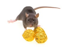 Funny rat and chocolate candies isolated on white Royalty Free Stock Images