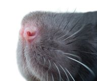 Funny rat close-up portrait Royalty Free Stock Images