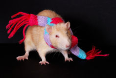 Funny rat in a colorful scarf isolated on black ba Royalty Free Stock Photo