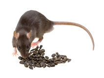 Free Funny Rat Eat Sunflower Seeds Isolated On White Royalty Free Stock Images - 12653449