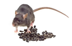 Funny rat eat sunflower seeds isolated on white Royalty Free Stock Images