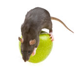 Funny rat and green apple isolated on white stock photography