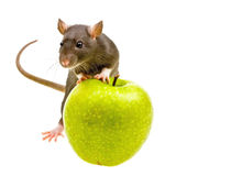 Funny rat and green apple isolated on white Royalty Free Stock Image