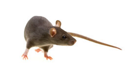 Funny rat isolated on white Stock Photography
