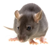 Funny rat isolated on white Royalty Free Stock Photos
