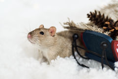 Funny rat looking out of christmas decorations sledge. Funny rat looking out of Christmas decorations of rustic wooden sled full of cones among snow Royalty Free Stock Photo
