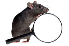 Funny rat and magnifying glass Stock Photography