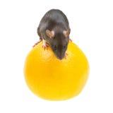 Funny rat and orange on white Royalty Free Stock Photos