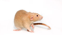 Funny rat. Stock Image