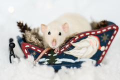 Funny rat sitting in wooden sleigh at christmas decorations. Funny rat sitting in Christmas decorations of rustic wooden sled full of cones among snow Royalty Free Stock Photo