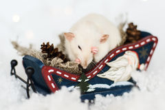 Funny rat washing up sitting in sled at christmas decorations. Funny rat washing up sitting in Christmas decorations of rustic wooden sled full of cones among Royalty Free Stock Image