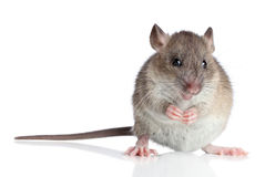 Funny rat on a white background Stock Image
