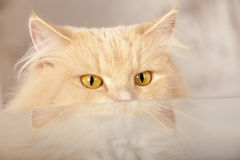 Funny red cat royalty free stock image