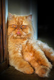 Funny red cat sit on the floor Royalty Free Stock Photo