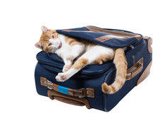 Funny red cat with tongue sticking out is in the pocket bag Royalty Free Stock Photography