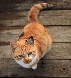 Funny red cat on a wooden floor Stock Photos